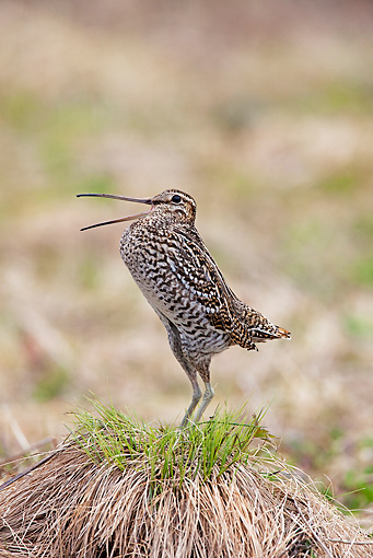 BRD 30 WF0025 01 © Kimball Stock Great Snipe Male Courting By Nest Sweden