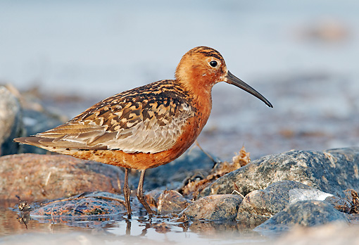 BRD 30 WF0026 01 © Kimball Stock Curlew Sandpiper Standing On Stones In Shallow Water