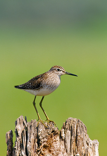 BRD 30 WF0029 01 © Kimball Stock Wood Sandpiper Standing On Stump Greece