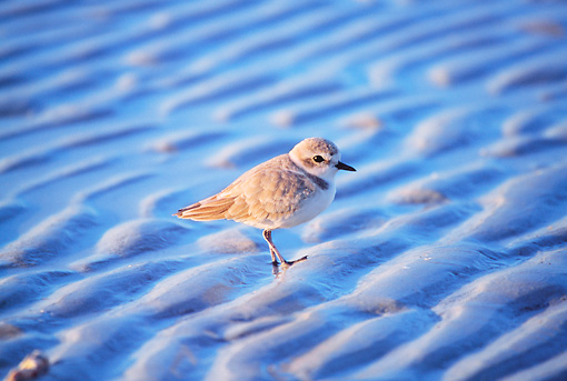 BRD 30 LS0001 01 © Kimball Stock Snowy Plover Walking On Beach Florida