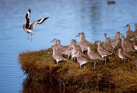 BRD 30 RK0015 14 © Kimball Stock A Flock Of Sandpiper Birds On Land And Water