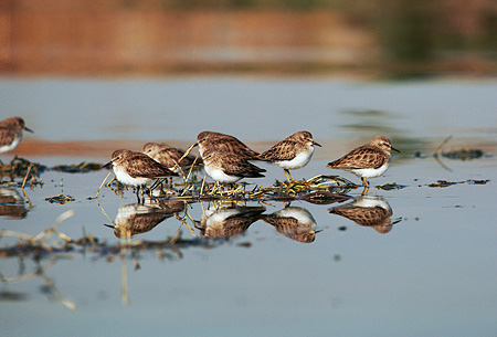 BRD 30 RK0018 01 © Kimball Stock A Flock Of Plovers Standing On Water