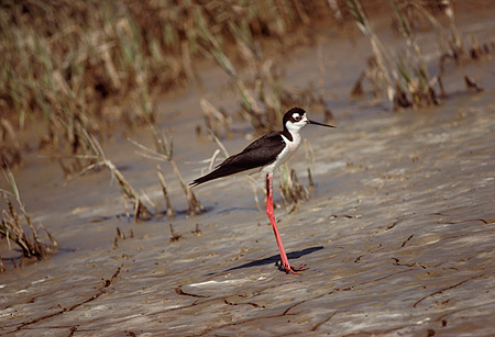 BRD 30 RK0020 01 © Kimball Stock Black Necked Stilt Standing On Shore