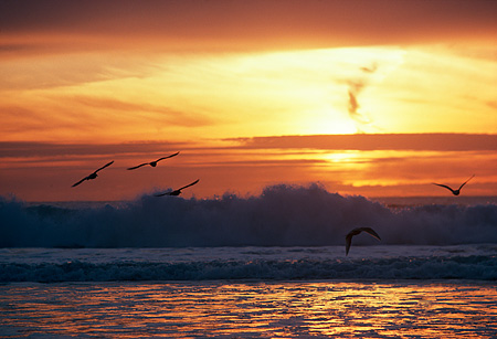 BRD 30 RK0031 01 © Kimball Stock Shorebirds In Flight Sunset