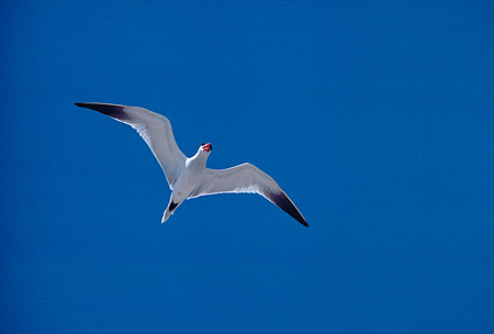 BRD 30 RK0042 05 © Kimball Stock Royal Tern In Flight