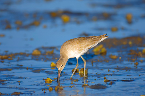 BRD 30 SK0001 01 © Kimball Stock Willet Feeding On Lagoon Mexico