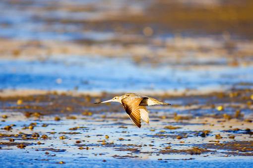 BRD 30 SK0003 01 © Kimball Stock Marbled Godwit Flying Low Over Lagoon Mexico