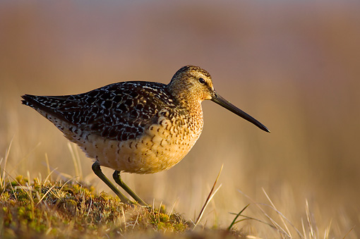 BRD 30 SK0004 01 © Kimball Stock Short-Billed Dowitcher Standing On Arctic Tundra Alaska