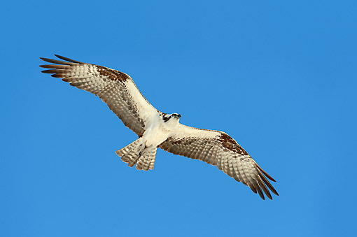 BRD 31 AC0001 01 © Kimball Stock Osprey (Also Called Fish Eagle, Sea Hawk, River Hawk, Or Fish Hawk) Flying Through Sky In Everglades National Park
