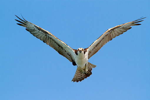 BRD 31 LS0001 01 © Kimball Stock Osprey In Flight Pinellas County, Florida