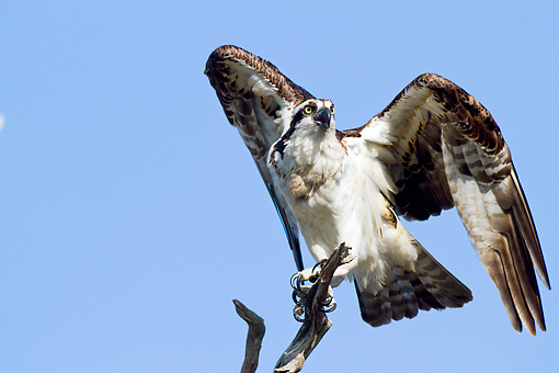 BRD 31 LS0002 01 © Kimball Stock Osprey Screaming And Preparing To Take Off From Pine Snag Dunedin, Florida