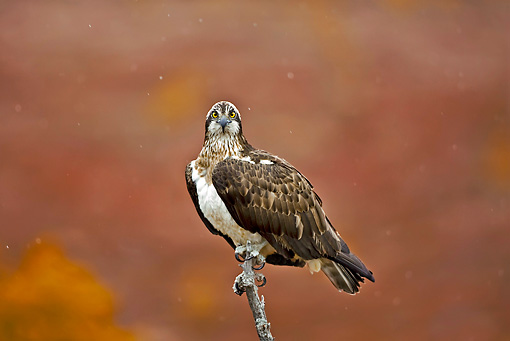 BRD 31 WF0001 01 © Kimball Stock Osprey Perched On Branch In Falling Snow