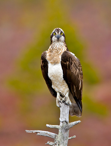 BRD 31 WF0002 01 © Kimball Stock Portrait Of Osprey Perched On Branch