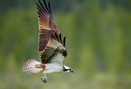 BRD 31 WF0003 01 © Kimball Stock Portrait Of Osprey In Flight Profile