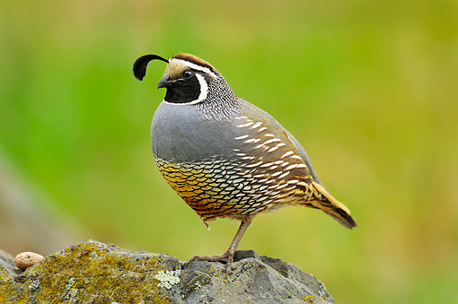 BRD 32 TL0001 01 © Kimball Stock Male California Quail Perching On Rock