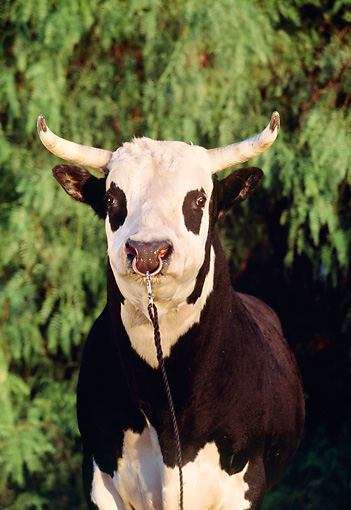 Nose Ring Animal Stock Photos Kimballstock
