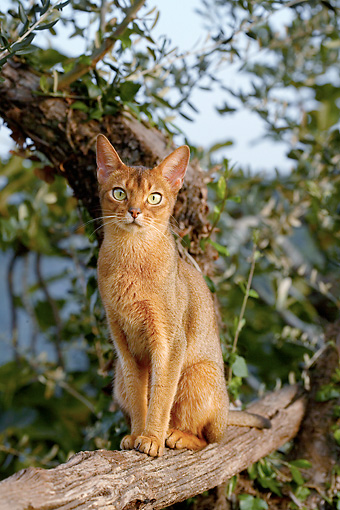 CAT 01 AB0001 01 © Kimball Stock Portrait Of Abyssinian Cat Sitting On Tree Branch