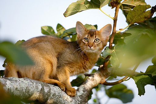 CAT 01 AB0002 01 © Kimball Stock Portrait Of Somali Cat Sitting On Tree Branch