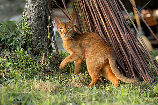 CAT 01 AB0003 01 © Kimball Stock Abyssinian Cat Standing On Lawn