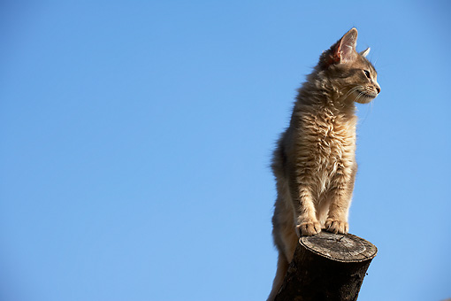 CAT 01 AB0006 01 © Kimball Stock Somali Cat Standing On Log Against Blue Sky