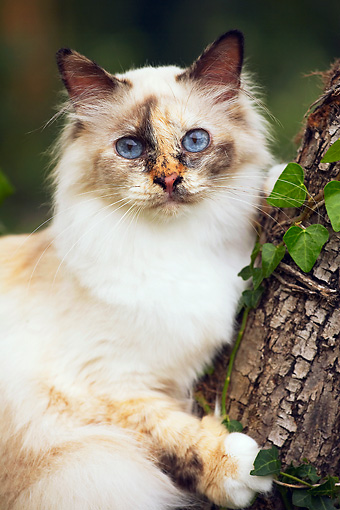 CAT 01 AB0007 01 © Kimball Stock Portrait Of Birman Cat Leaning On Tree Trunk