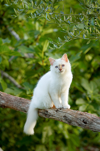 CAT 01 AB0008 01 © Kimball Stock White Birman Cat Sitting On Tree Branch