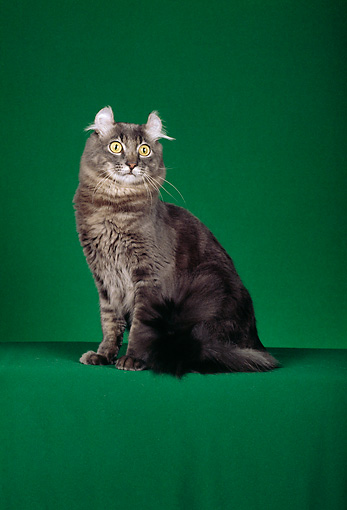 CAT 01 CH0001 01 © Kimball Stock American Curl Blue Tabby Cat Sitting In Studio
