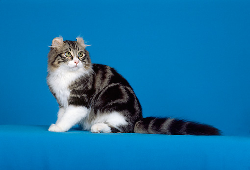 CAT 01 CH0002 01 © Kimball Stock American Curl Brown Tabby Cat Sitting In Studio