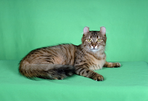 CAT 01 CH0003 01 © Kimball Stock American Curl Spotted Torbie Cat Laying In Studio