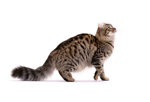 CAT 01 CH0004 01 © Kimball Stock American Curl Longhair Tabby Cat Walking On White Seamless