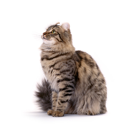 CAT 01 CH0005 01 © Kimball Stock American Curl Longhair Tabby Cat Sitting On White Seamless