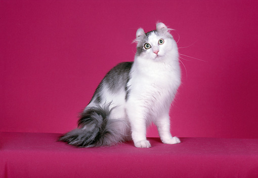 CAT 01 CH0006 01 © Kimball Stock American Curl Blue And White Longhair Cat Sitting In Studio