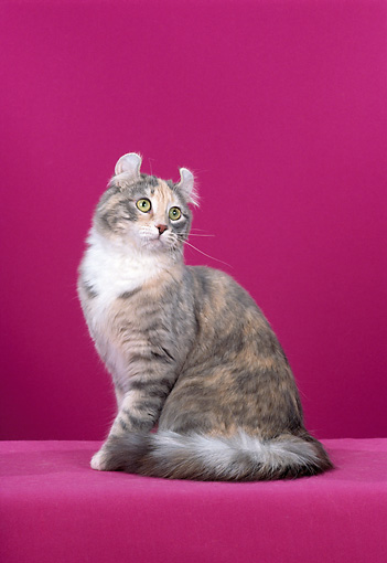 CAT 01 CH0007 01 © Kimball Stock American Curl Longhair Blue Patched Tabby Sitting In Studio