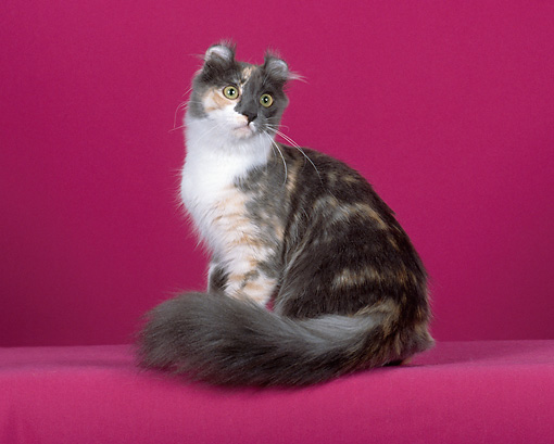 CAT 01 CH0008 01 © Kimball Stock American Curl Longhair Dilute Calico Sitting In Studio