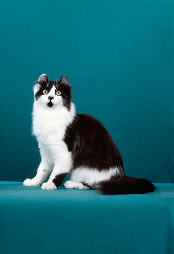 CAT 01 CH0009 01 © Kimball Stock American Curl Longhair Cat Sitting In Studio