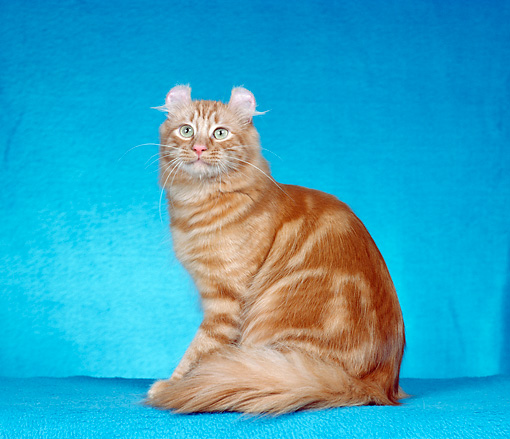CAT 01 CH0010 01 © Kimball Stock American Curl Longhair Red Tabby Sitting In Studio
