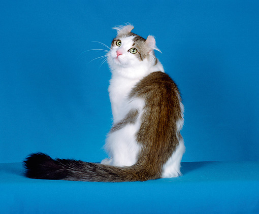 CAT 01 CH0011 01 © Kimball Stock American Curl Longhair Tabby Sitting In Studio