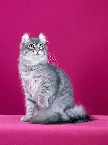CAT 01 CH0012 01 © Kimball Stock American Curl Silver And Blue Mackeral Tabby Sitting In Studio