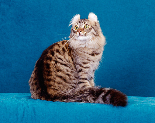 CAT 01 CH0013 01 © Kimball Stock American Curl Longhair Tabby Sitting In Studio