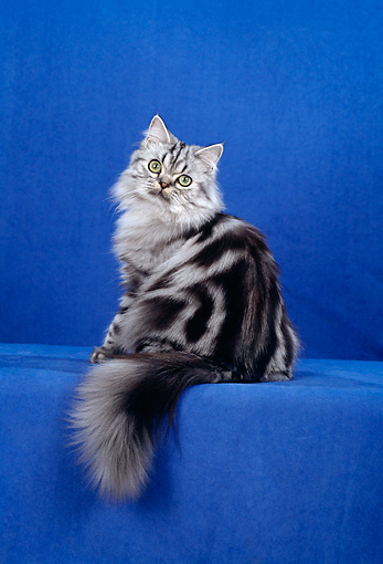CAT 01 CH0015 01 © Kimball Stock American Longhair Classic Silver Sitting In Studio