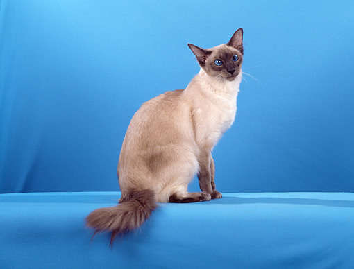 CAT 01 CH0016 01 © Kimball Stock Balinese Blue Point Sitting In Blue Studio