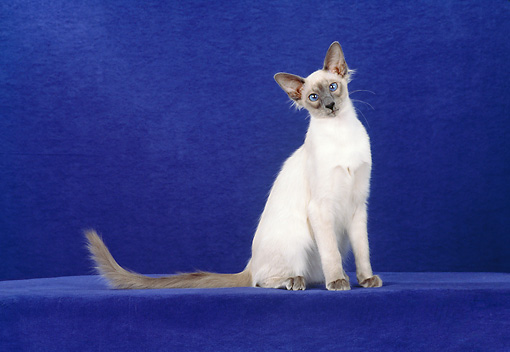 CAT 01 CH0017 01 © Kimball Stock Balinese Blue Point Sitting In Blue Studio Tilting Head