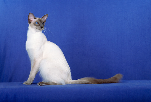 CAT 01 CH0018 01 © Kimball Stock Balinese Blue Point Sitting In Blue Studio Looking Back