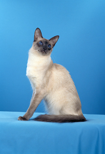CAT 01 CH0019 01 © Kimball Stock Balinese Blue Point Sitting In Blue Studio