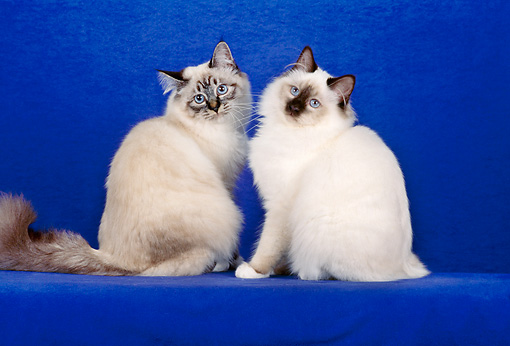 CAT 01 CH0024 01 © Kimball Stock Two Birman Seal Lynx Point And Chocolate Point Cats Sitting In Blue Studio