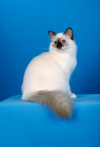 CAT 01 CH0026 01 © Kimball Stock Birman Chocolate Point Sitting In Blue Studio