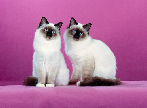 CAT 01 CH0027 01 © Kimball Stock Two Birman Seal Point Cats Sitting In Pink Studio