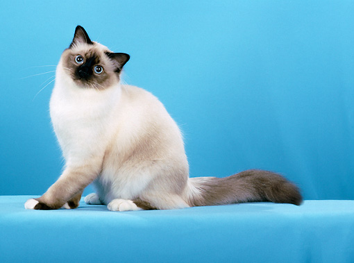 CAT 01 CH0028 01 © Kimball Stock Birman Seal Point Cat Sitting In Blue Studio