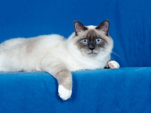 CAT 01 CH0029 01 © Kimball Stock Birman Blue Point Laying In Blue Studio
