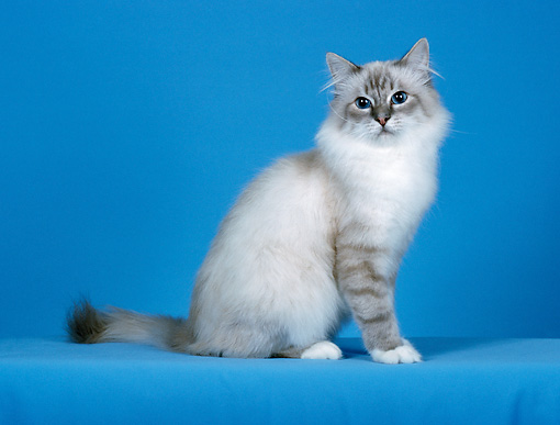 CAT 01 CH0030 01 © Kimball Stock Birman Blue Lynx Point Sitting In Blue Studio